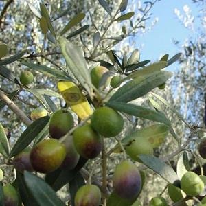 raccolta olive toscana