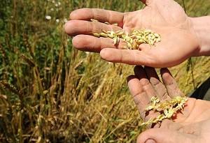 coltivare zafferano